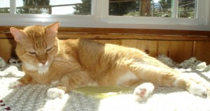Our Orange Kitty with FIV and Lymphoma May 2011
